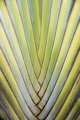 Banana fan tree leaf, full frame