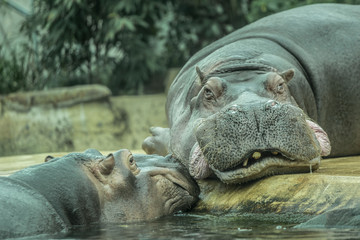 Two hippos talking to each other at zoo in Berlin
