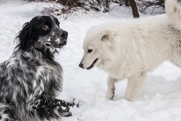 Samoyed and English Setter playing in snow