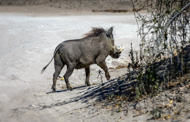 Brown hairy warthogs in the Chobe National Park - Botswana, South-Western Africa