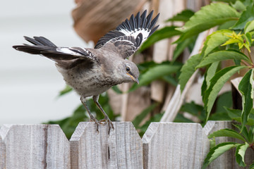 Mockingbird on a wood fence wings spread about to fly.