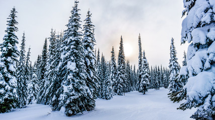 Wall Mural - Snow covered trees in the winter landscape of the high alpine at the ski resort of Sun Peaks in the Shuswap Highlands of central British Columbia, Canada