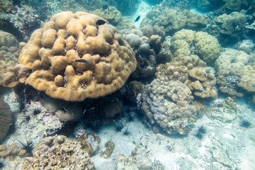 Big coral reef colony with fish in lipe sea
