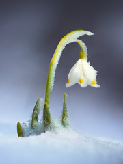 Leucojum vernum. Spring wildflower in the snow. Carptathians, Ukraine