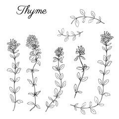 Thyme branch hand drawn vector illustration isolated on white, Natural cooking doodle spicy ingredients, Healing herb design for greeting card, invitations, packaging tea, cosmetics, kitchen menu