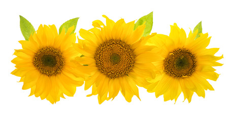 Sunflower head isolated on white background