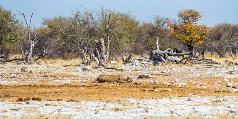 Hunting lioness in Etosha national park