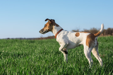 Dog fox terrier on green grass on a sunny day