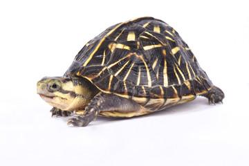 Florida box turtle,Terrapene carolina bauri