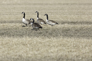 Canada Geese in Cultivated Field