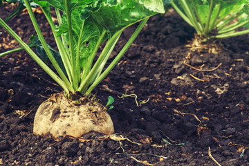 Sugar beet root crop Wall mural