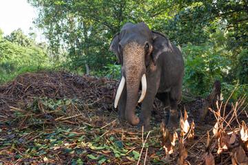 Слон пасется в зеленых джунглях.
