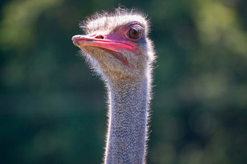 ostrich head on green nature background