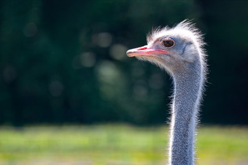 ostrich closeup in nature