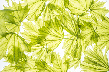 spring maple leaves - background