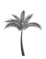 Tropical palm. Black and white isolated on white background. illustration