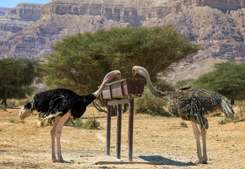 Female and male of African ostrich (Struthio camelus) in nature reserve park, 35 km north of Eilat, Israel