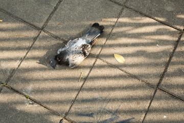 Pigeon lie dead on concrete floor