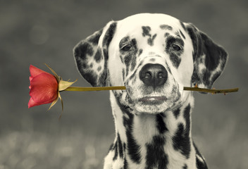 dog in love with red rose in the mouth -- black and white picture