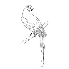 Vector macaw parrot illustration. Animal in the wild hand drawn sketch with beautiful colorful exotic bird sitting on branch in jungles. Outlines black and white design