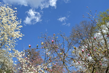 Blue sky with white clouds,blossom tree.