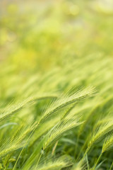 Background with stems of young wheat and bokeh effect. Selective focus