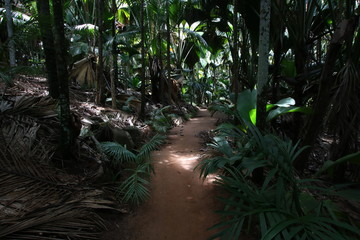 Palm Trees in Vallée de Mai Nature Reserve, Praslin Island, Seychelles, Indian Ocean, Africa / The park is the habitat of the endemic coco-de-mer, which is the largest double nut in the world.