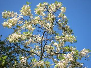 The Black locust or Acacia on blue sky