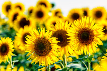 Round yellow sunflowers bloom on the field at sunset. Beautiful natural sunflower backrgound