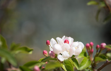 Blooming, blossoming apple tree branch with a natural blurry background. Pink and white flowers. Spring time. Closeup. Copy space