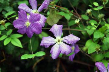 purple flowers Clematis Lasurstern closeup