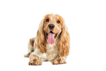 English cocker spaniel dog on a white background