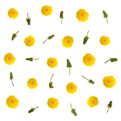 Dandelion flowers isolated on white floral  background