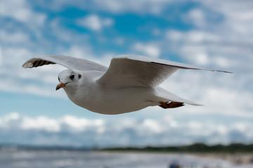 Mewa w locie nad Morzem Bałtyckim w Świnoujściu
