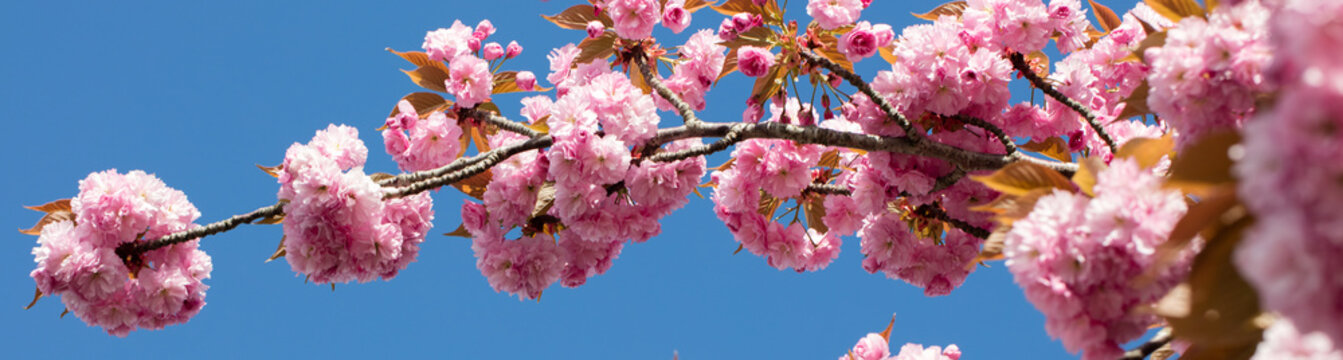 long banner with pink Japanese cherry branch over blue sky