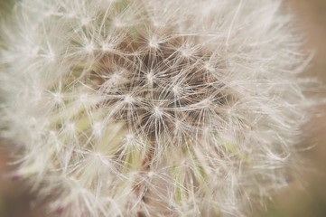 Detail of dandelion with matt effect. Close up shot