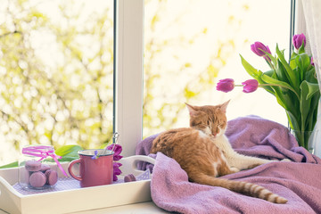 Cozy home concept. Purple fresh tulips in glass vase. Macaroons in glass jar. Cup of hot tea. White tray. Lilac blanket on the windowsill. Red white cat kitty sleeping on violet plaid. Sunshine. Toned