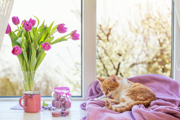 Cozy home concept. Purple fresh tulips in glass vase. Macaroons in glass jar. Cup of hot tea. Lilac blanket on the windowsill. Red white cat kitty on violet plaid. Sunshine. Coloring toned photo