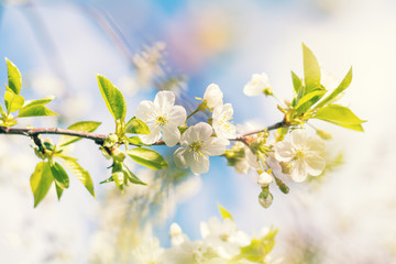 Spring background art white cherry blossom. Beautiful nature scene with blooming tree and sun flare. Sunny day. Spring flowers. Beautiful orchard. Abstract blurred background. Shallow depth of field.