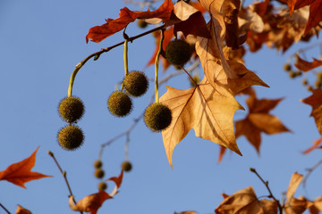 Autumnal plane tree against the sky. Spiny balls of seeds and yellow with orange leaves on a background of blue autumn sky