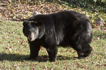 Urban Black Bear in Her Thick Winter Coat