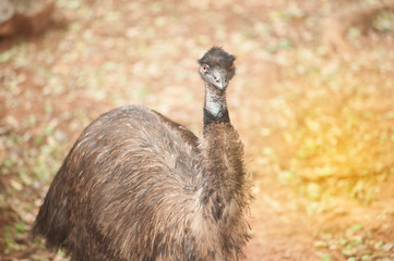 Portrait of Emu (Dromaius novaehollandiae). Wildlife animal.