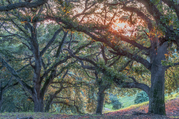 Coast Live Oak Forest (Quercus agrifolia) Sunset. Ed Levin County Park, Santa Clara County, California, USA.