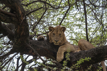 Young male lion on a tree Tanzania   Africa