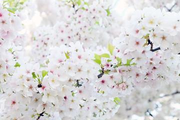 Cherry blossom season in Tokyo Japan