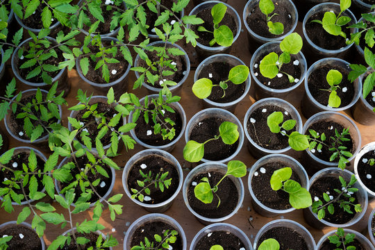 tomato and eggplant seedlings growing in a greenhouse - selective focus, copy space
