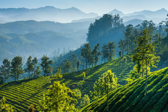Green tea plantations. Munnar, Kerala, India
