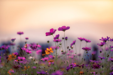 Printed kitchen splashbacks Beige Landscape of nature background and beautiful pink and red cosmos flower field with sunset. vintage color tone