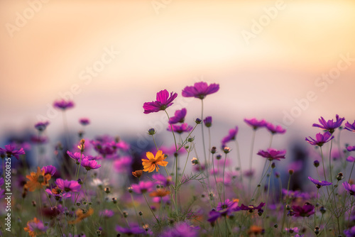 Wall mural Landscape of nature background and beautiful pink and red cosmos flower field with sunset. vintage color tone