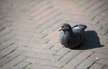 Dove on street